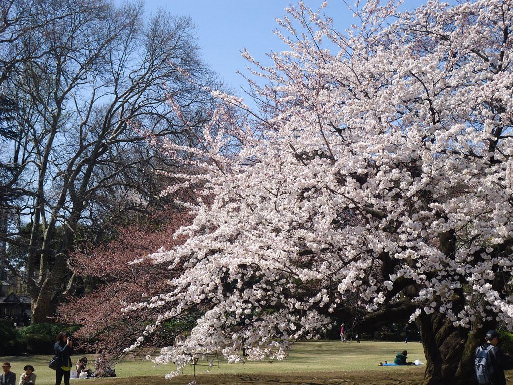 sakuras no Shinjuku Gyoen Park