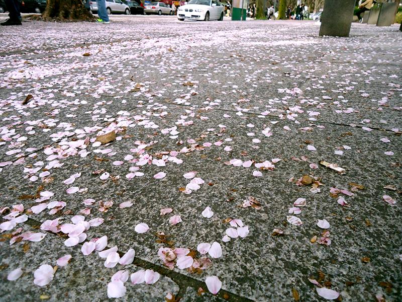Pétalas de sakura em Nagoya
