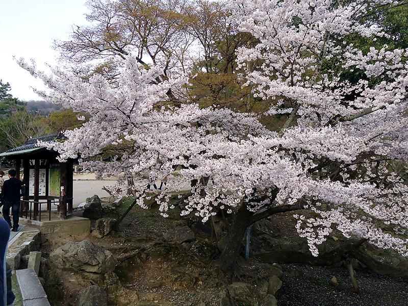 flores de cerejeira em Nara park - Nara