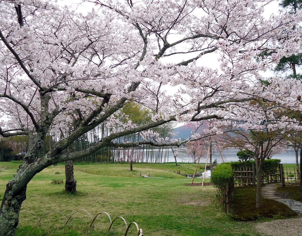 flores de cerejeira em Arashiyama - Kyoto