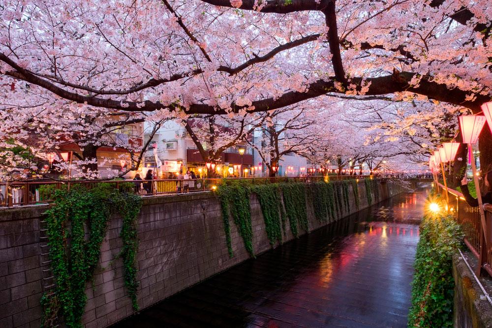 Meguro river com flores de cerejeiras no Japão