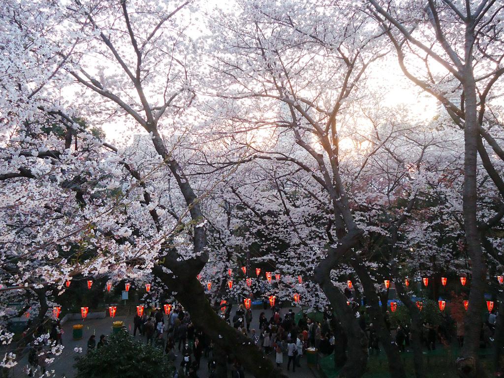 flores de cerejeira no Ueno park no hanami